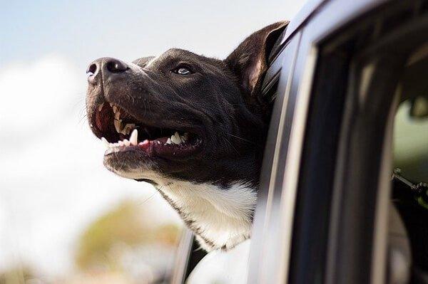 Que ocurre en los accidentes de trafico con perros como pasajeros