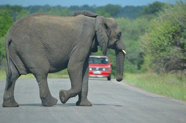 Quien es culpable en un accidente de trafico con animal salvaje
